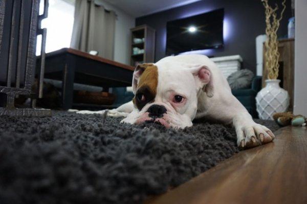 Как сохранить порядок в доме, где есть собака