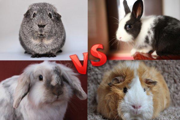 Кролик или морская свинка: кого лучше выбрать для ребенка?