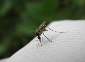 Что сделать, чтобы комариные укусы не чесались