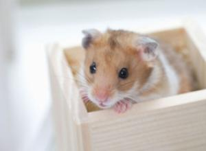 Как правильно содержать хомячка дома?