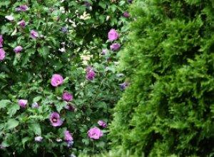 Как создать непрерывно цветущий сад из декоративных кустарников